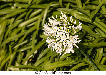white african lily flowerhead - close up of white african...