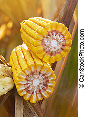 Ripe maize corn on the cob in cultivated agricultural field...