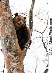 Brown bear in the tree looking on the orizont in the forest