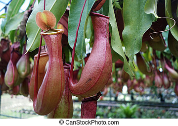 Tropical pitcher plant this plant is a carnivore and eats...