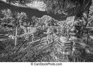 New Mexico Vineyard - Rows of grape vines in a northern New...