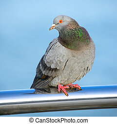 Pigeon - The pigeon is sitting on chrome pipe