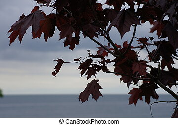 Red Maple with Lakeview - Leaves of a red maple with lake in...