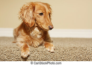 Dachshund at home.