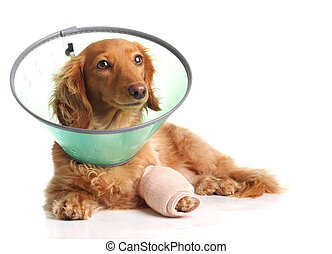 Sick dog - Sick dachshund wearing a funnel collar for a...