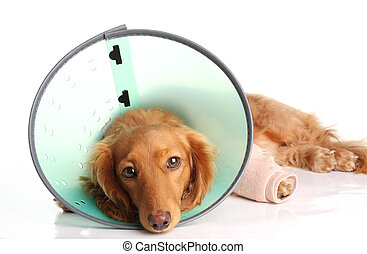 Sick dog wearing a funnel collar for an injured leg