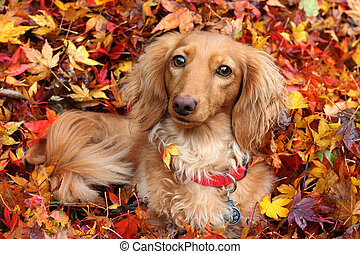 Autumn dachshund dog - Dachshund dog surrounded by autumn...