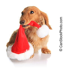 Naughty Santa dog - Naughty dachshund dog chewing on Santas...