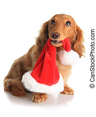 Naughty Christmas dog - Naughty dachshund dog chewing on...