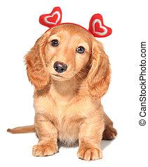 Valentine puppy - Miniature dachshund puppy wearing red...