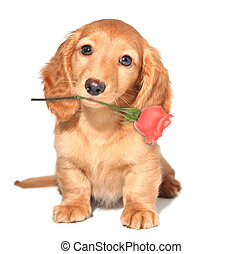 Valentine puppy - Miniature dachshund puppy with a rose