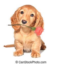 Valentine puppy - Miniature dachshund puppy with a rose