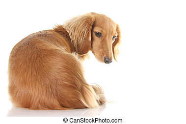 Curious dog - Dachshund looking over her shoulder at your...
