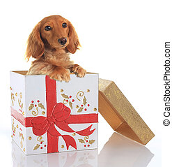 Christmas puppy - Dachshund puppy in a Christmas box.