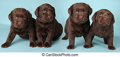 Labrador puppies - Four labrador retriever puppies studio...