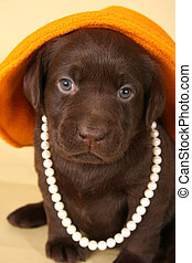 Labrador puppy - Chocolate lab puppy dressed up in pearls...