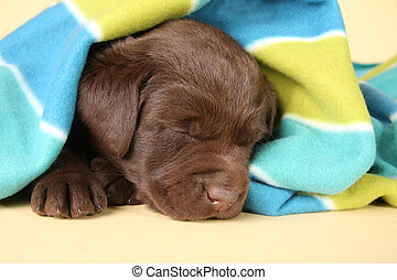 Sleepy puppy - Purebred labrador retriever puppy sleeping