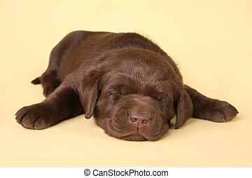 Sleeping lab puppy - Sleeping labrador retriever puppy