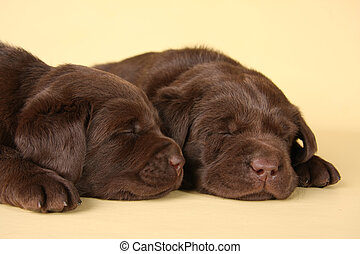 Labrador puppies - Two sleeping labrador retriever puppies.
