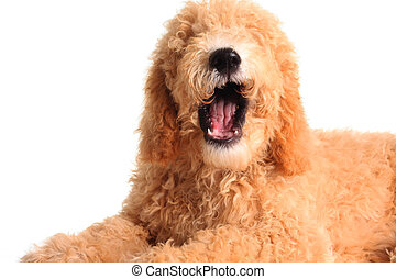 Talking dog - Golden doodle with it's mouth open as if...