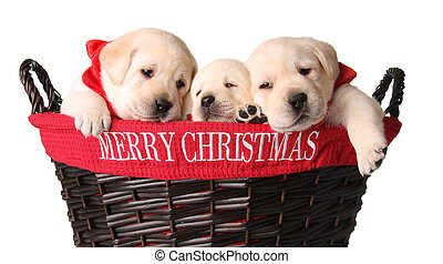 Christmas puppies - Three yellow lab puppies in a Merry...