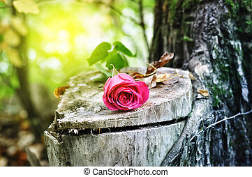 rose flower on a tree stump - rose flower lying on the stump...