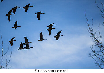 Migratory Geese Flight Formation