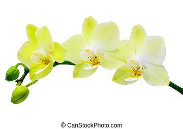 White-yellow, orchidée, sur, a, blanc, fond,