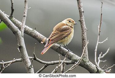 songbird - the Common Redstart, female