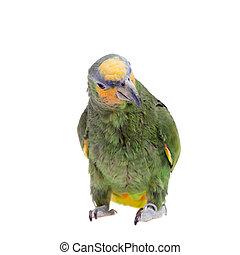 Orange-winged, amazonka, Na, biały, tło,