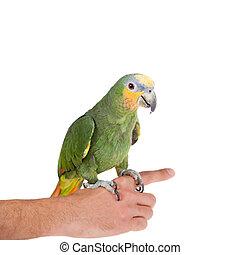 amazonka,  orange-winged, biały, tło, Ręka