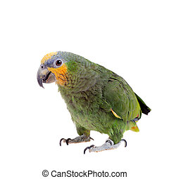 amazonka,  orange-winged, biały, tło