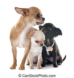 chihuahuas family - family chihuahua in front of white...