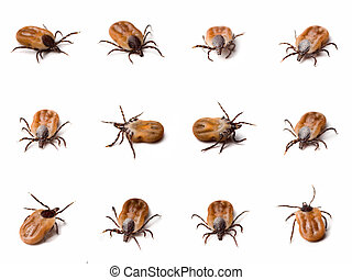 Tick Ixodes ricinus close up - Few different shots of tick...