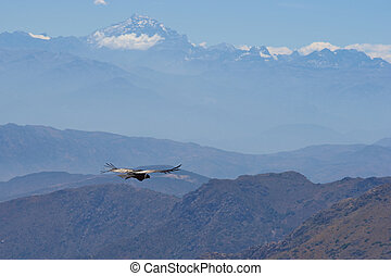 Andean Condor - Wild Andean Condor (Condor Vultur gryphus)...