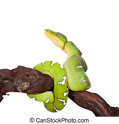 Emerald tree boa isolated on white background - Emerald tree...