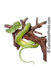 Green tree python, chondros isolated on white - Morelia...