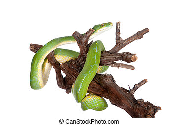 Green tree python, chondros isolated on white - Morelia...
