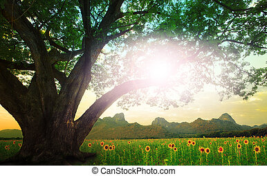 rain tree and sun shining on the sky with sunflowers field...