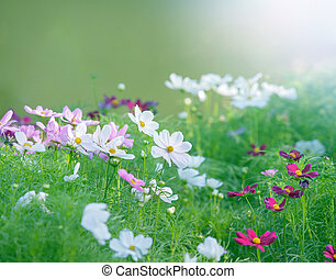 close up white cosmos flowers field in the park with green...