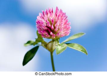 trifolium pratense -  red clover