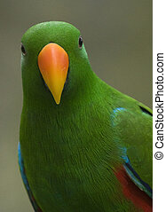 King Parrot  - This is a photo of a female king parrot bird.