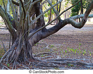 Stilt root growing support tree in rainforest