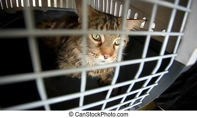 Cat maine coon travels in a cage. HD. 1920x1080