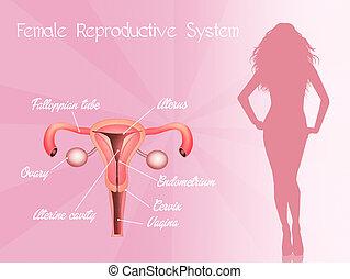 female genitals - illustration of female genitals