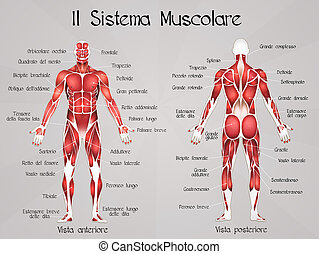 the muscular system - illustration of the muscular system