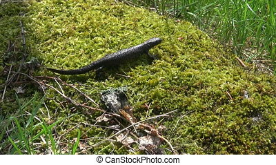 Great Crested Newt Triturus - Great Crested Newt Triturus...