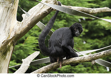 Black Spider Monkey Ateles paniscus in a tree
