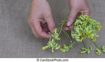 put spring cowslip medical flowers - herbalist put fresh...