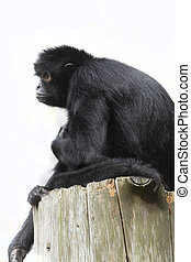 Black Spider Monkey ( Ateles paniscus) resting High up
